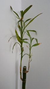 lucky bamboo with very little yellowing leaves
